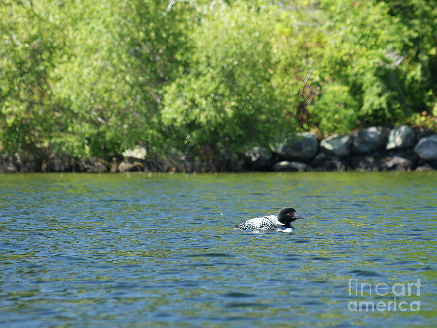 Loon Photograph - Lonely Loon Taking The Red Eye by Judy Carr