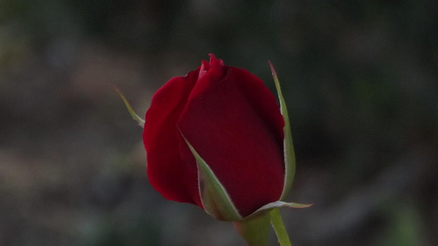 Lonely Rose Photograph