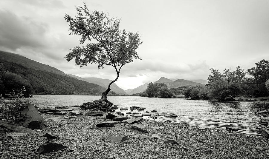 Loney Tree Snowdonia Wales Journey of Mountains by John Williams