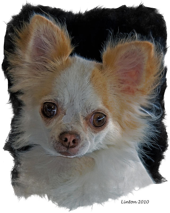 Long Coat Chihuahua Digital Art - Long Coat Chihuahua by Larry Linton