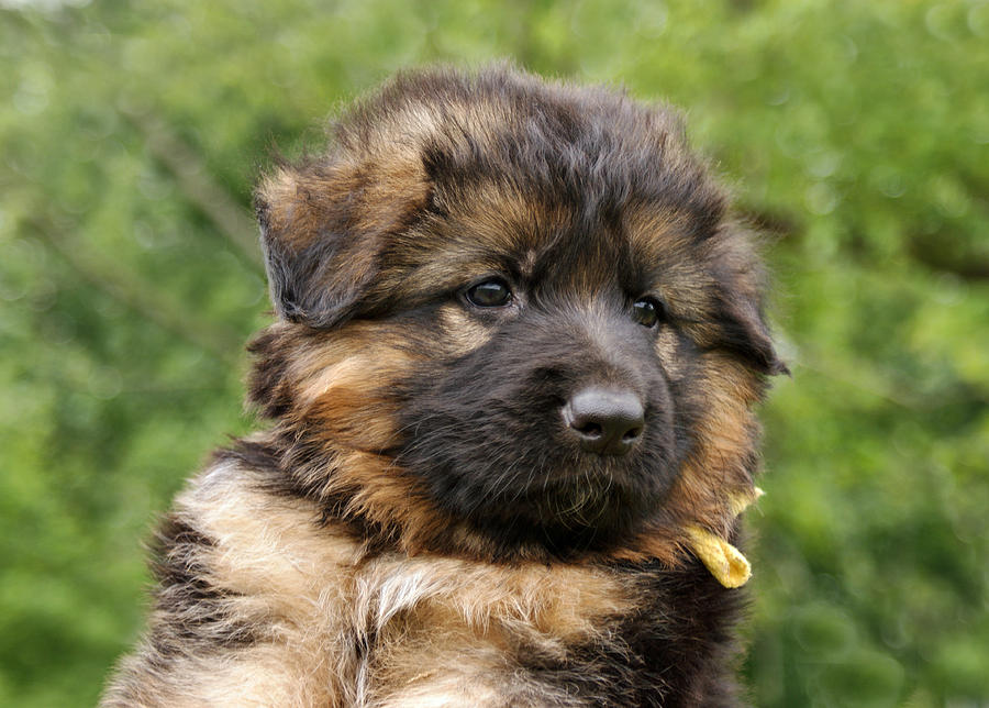 Dogs Photograph - Long Coated Puppy by Sandy Keeton