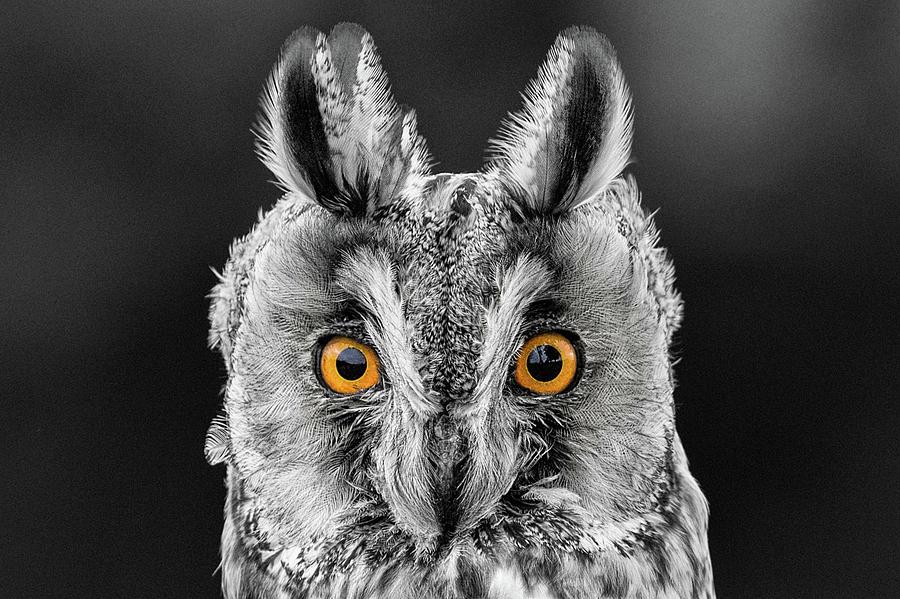 Long Eared Owl Photograph - Long Eared Owl 2 by Nigel R Bell