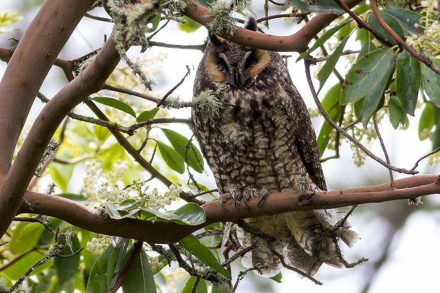 Long-eared Owl Photograph - Long-eared Owl by David Gn