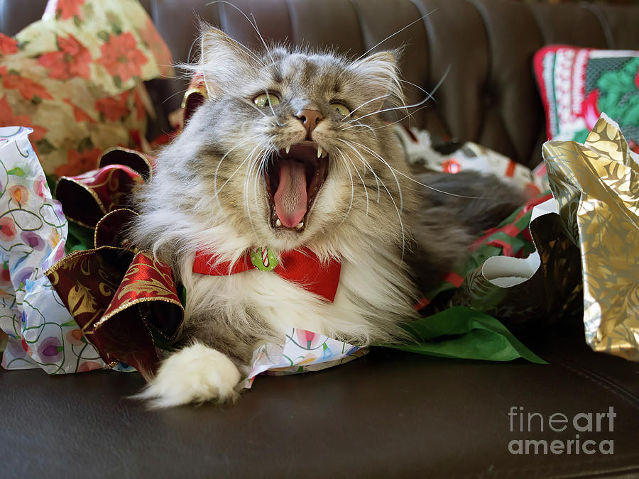 Cat Photograph - Long Haired Grey And White A Cat Yawns Amid Christmas Wrapping Paper by Louise Heusinkveld