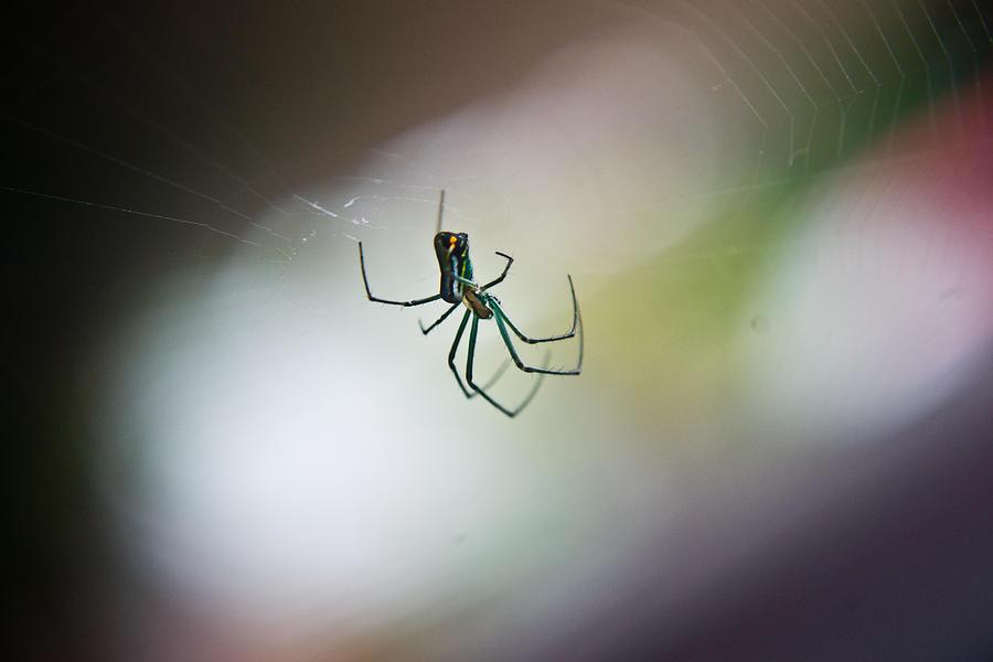 Long Photograph - Long Legged Green Spider 2 by Douglas Barnett