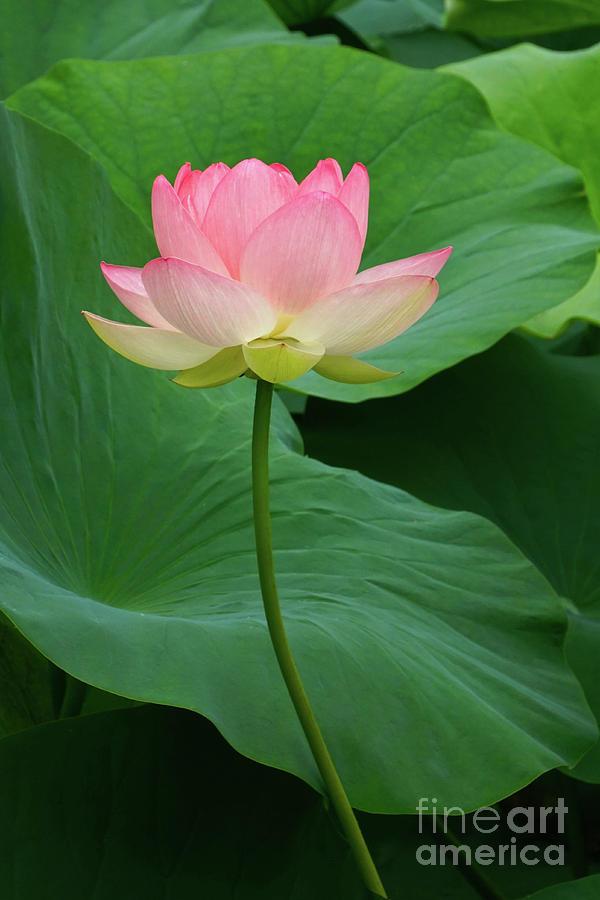 Long Stem Lotus Beauty by Byron Varvarigos
