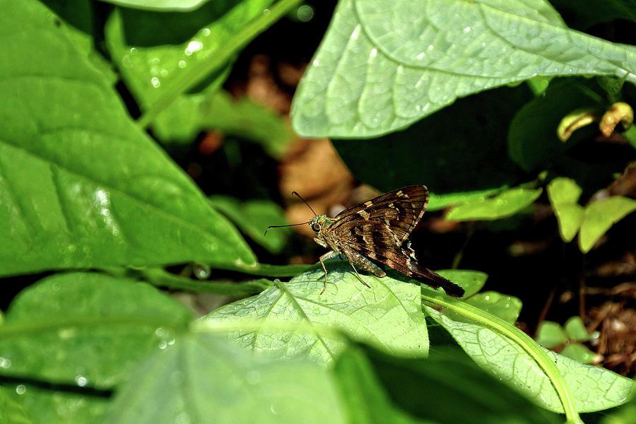 Animal Photograph - Long Tail Skipper Butterfly 1 by John Trommer