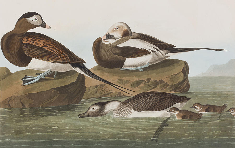 Duck Painting - Long Tailed Duck by John James Audubon