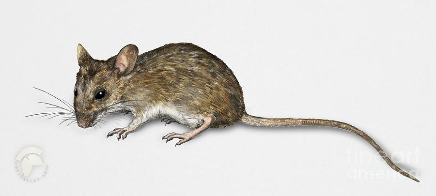 Nature Study Painting - Long Tailed Field Mouse Apodemus sylvaticus - Wood Mouse - Moulo by Urft Valley Art \ Matt J G  Maassen-Pohlen