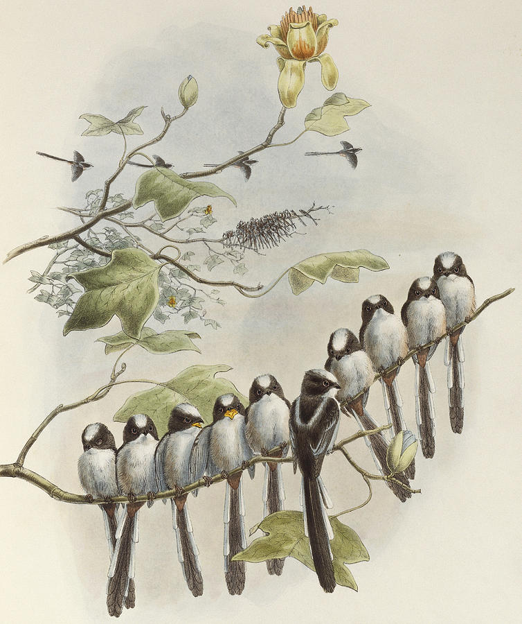 Tit Painting - Long-tailed Tit  by John Gould
