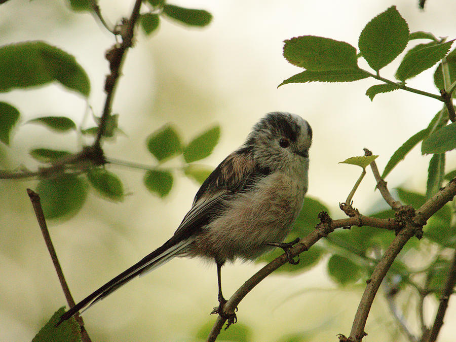 Long tailed Tit Posing by Adrian Wale