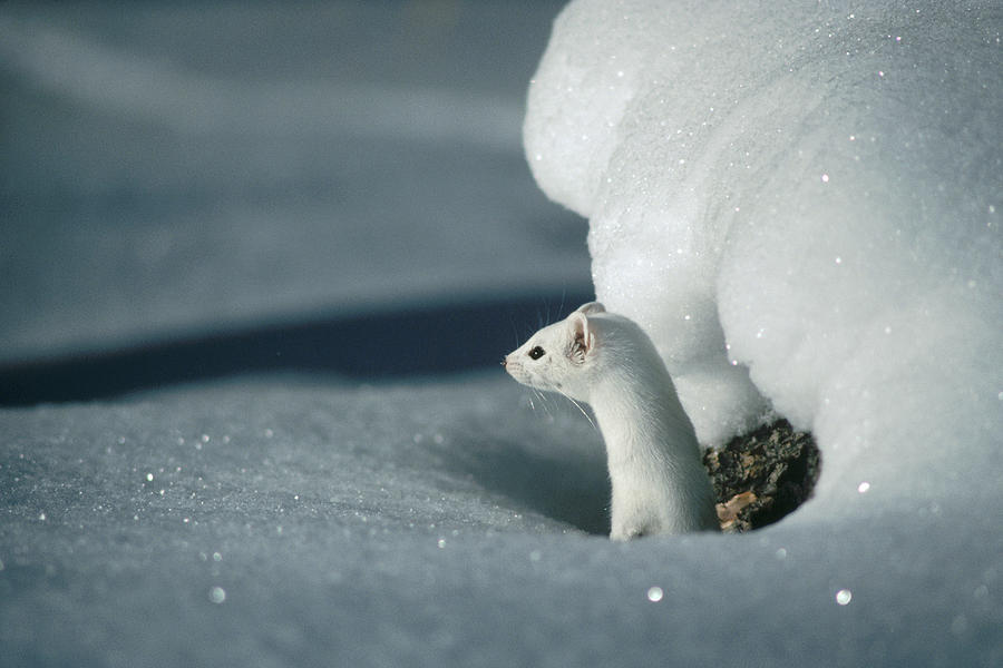 Long-tailed Weasel Mustela Frenata Photograph by Michael Quinton