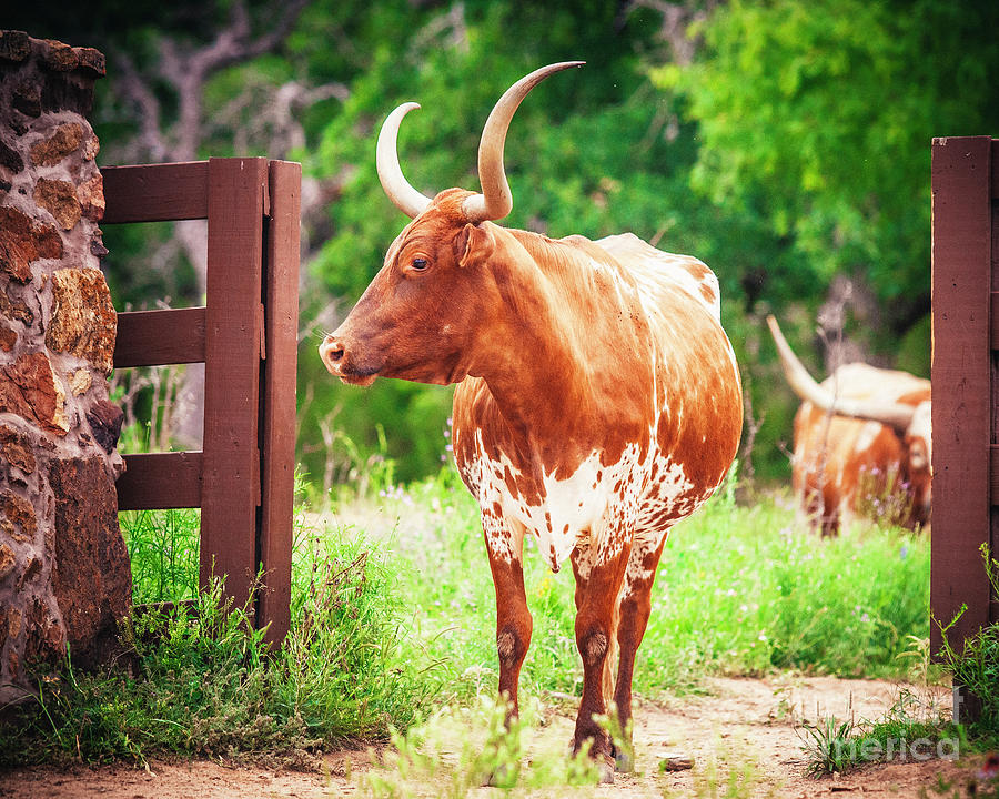 Longhorn In The Texas Hill Country Photograph