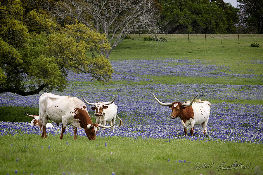 Longhorns Photograph - Longhorns Series No. 2 by Linda Lee Hall