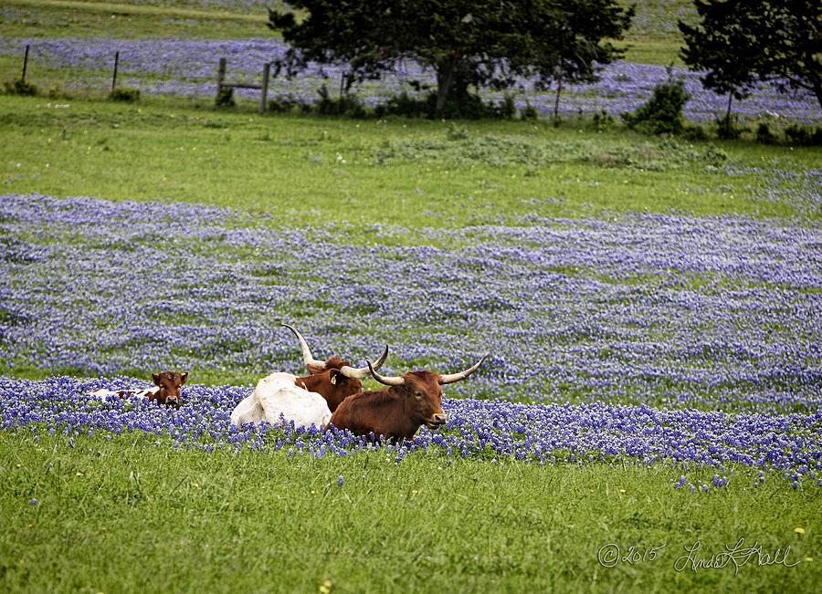 Longhorns Photograph - Longhorns Series No. 3 by Linda Lee Hall