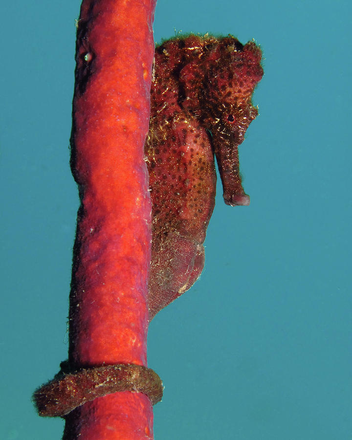 Longsnout Seahorse, St. Croix, U.S. Virgin Islands 5 by Pauline Walsh Jacobson