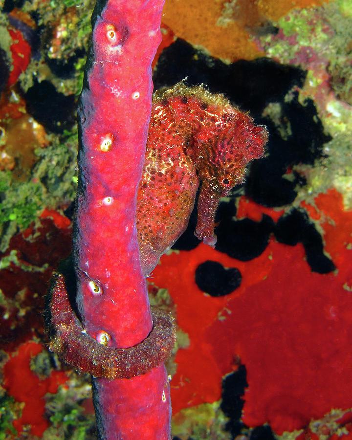 Longsnout Seahorse, St. Croix, U.S. Virgin Islands 6 by Pauline Walsh Jacobson