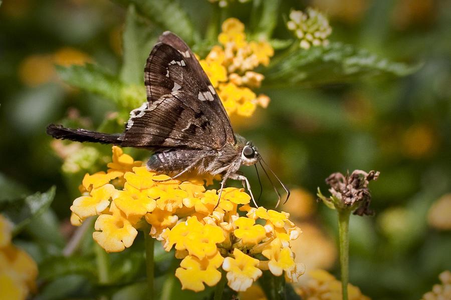 Yellow Flowers Photograph - Longtailed Skipper Urbanus Proteus by Dustin K Ryan