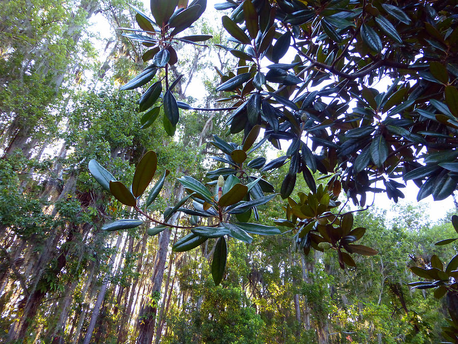 Sky Photograph - Look At That Rubber Plant Leaves by Tina M Wenger