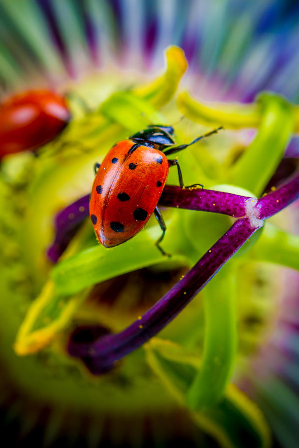Ladybugs Photograph - Look at the colors over there. by TC Morgan