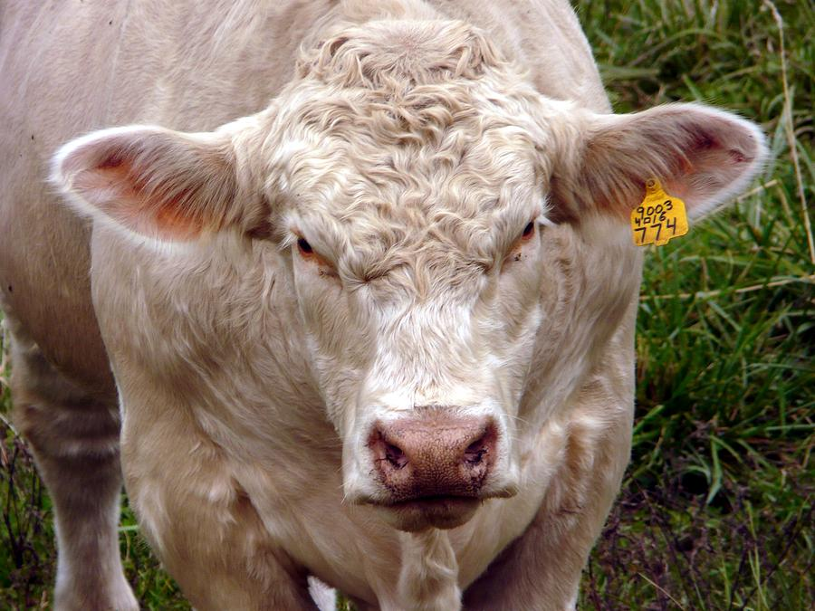 Charolais Photograph - Look Here  Buddy by Morning Dew