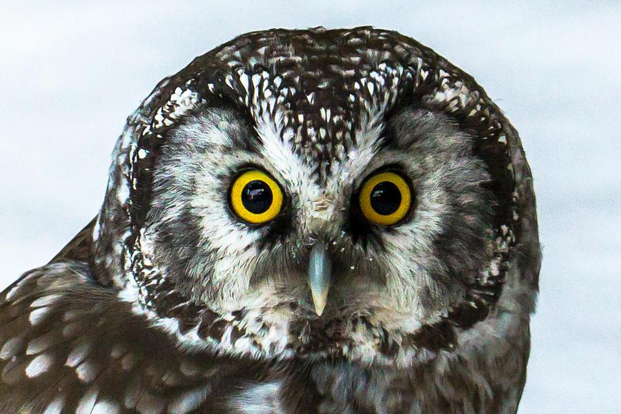 Owl Photograph - Look Into My Eyes by Peteris Vaivars