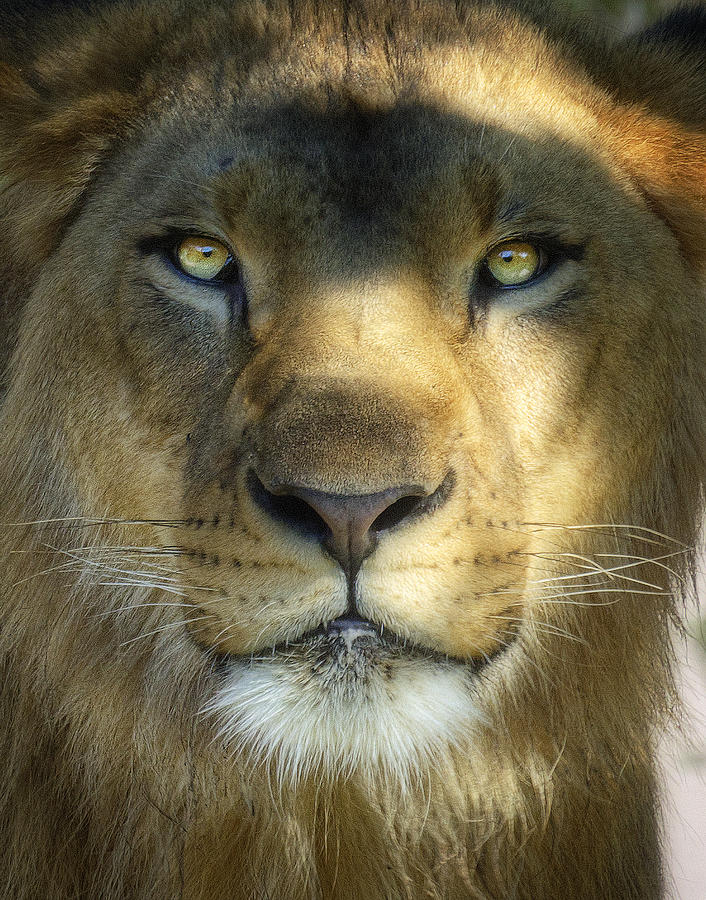 African Lion Photograph - Look Into My Eyes by Saija  Lehtonen