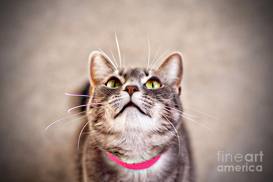 Cat Photograph - Look Up by Charrie Shockey