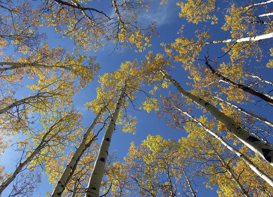Look Up Golden Aspens To Blue Sky V1 by Julia L Wright