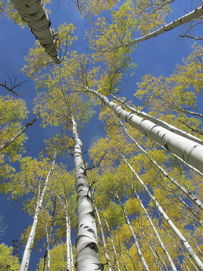 Look Up Golden Aspens To Blue Sky V2 by Julia L Wright