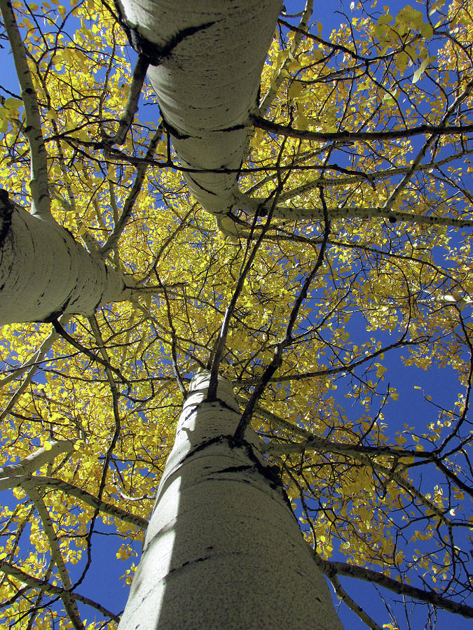 Look Up Golden Aspens To Blue Sky V3 by Julia L Wright