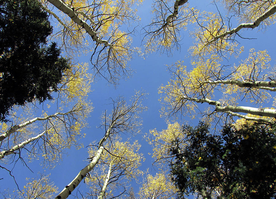 Look Up Golden Aspens To Blue Sky V4 by Julia L Wright