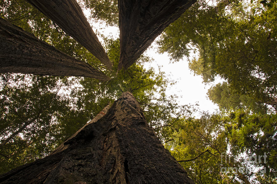Redwoods Photograph - Look Up Way Up by Vivian Christopher
