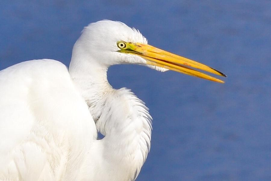 Egret Photograph - Looking At You by Patricia Black