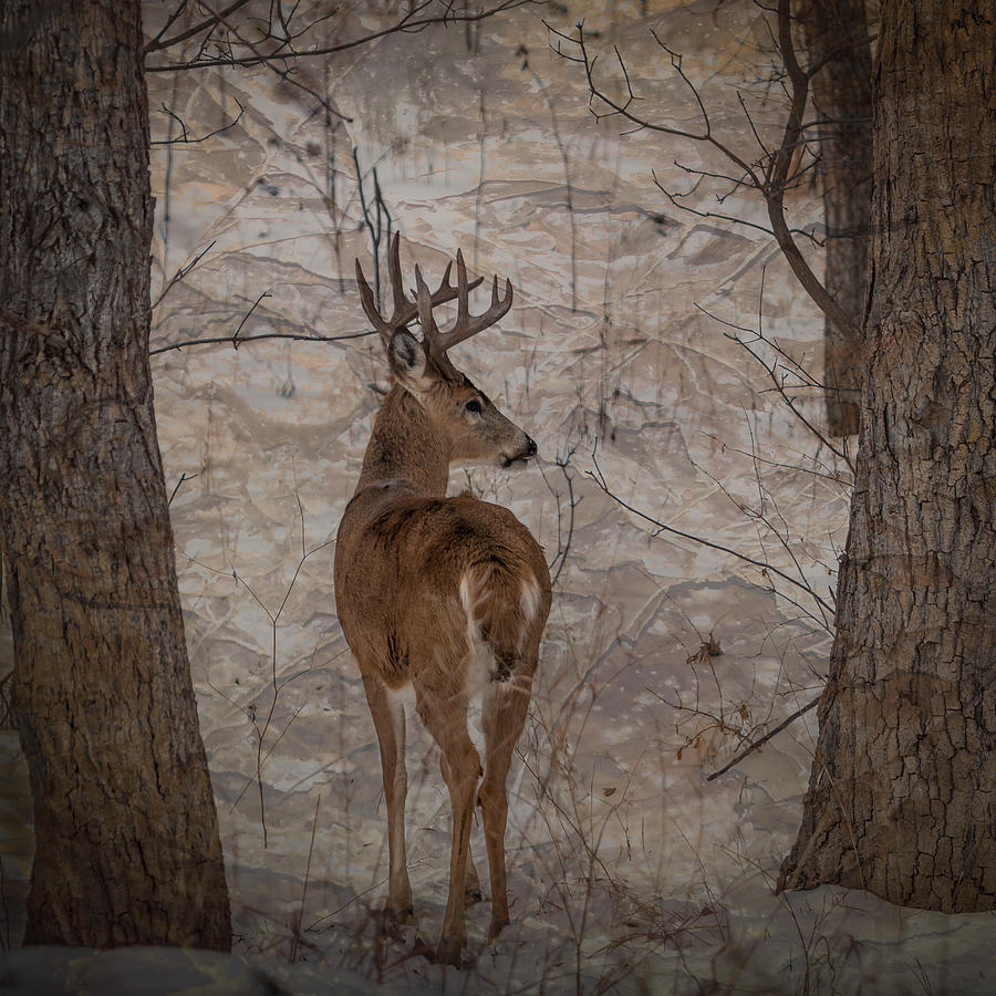 Deer Photograph - Looking Back Buck by Patti Deters