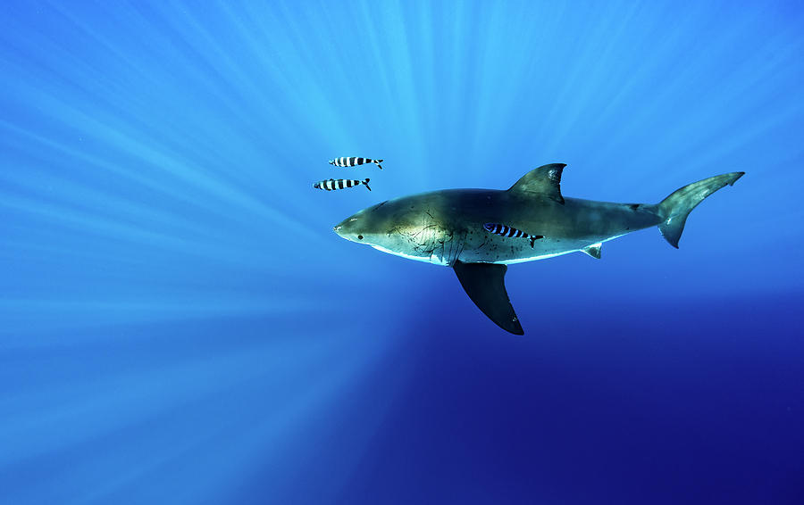 Great White Photograph - Looking Down by Shane Linke