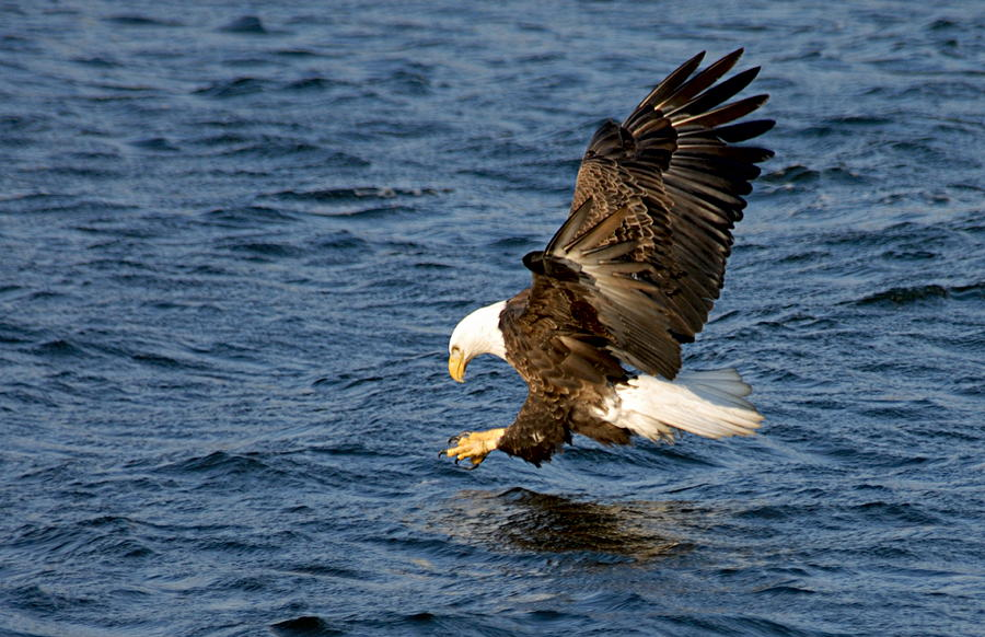 American Bald Eagle Photograph - Looking For Fish by Larry Ricker