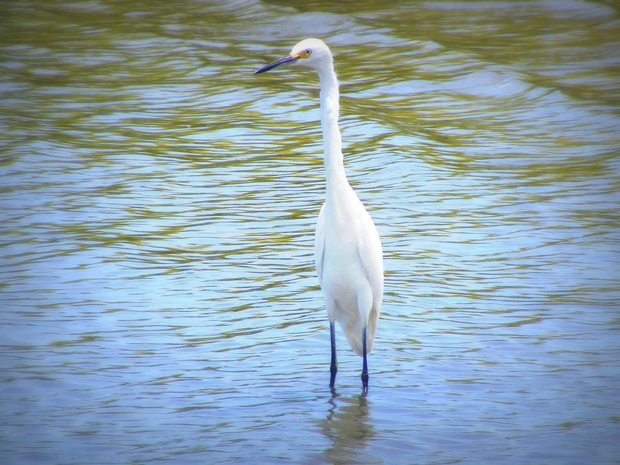 Heron Photograph - Looking For Lunch  by Mandy Shupp