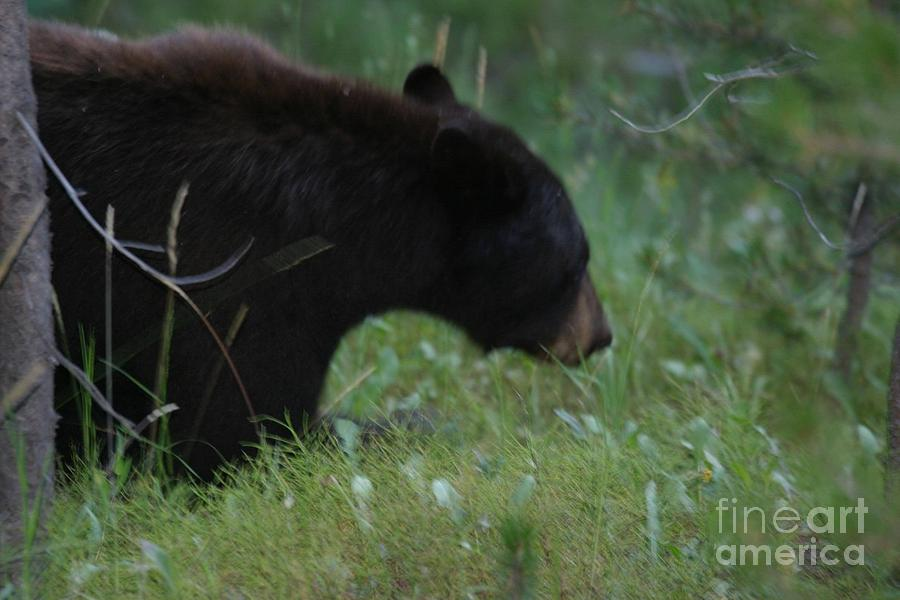 Black Bear Photograph - Looking For Lunch by Robert Torkomian
