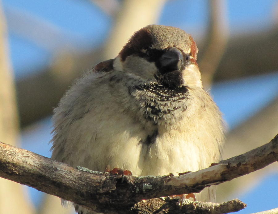 Sparrow Photograph - Looking Over The Nest by Lisa Jayne Konopka