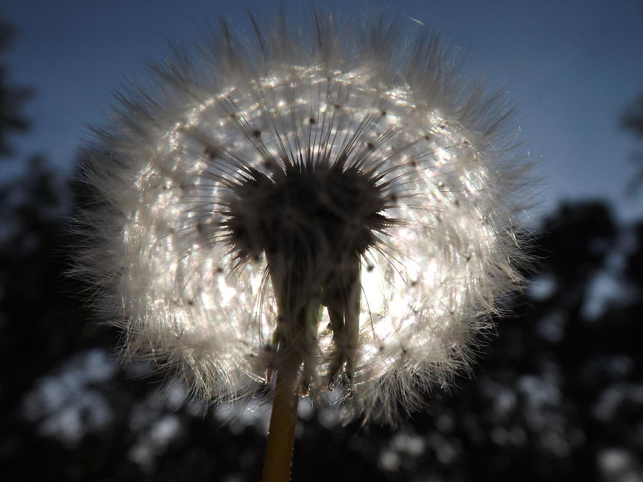 Looking Through A Dandelion Photograph by Rebecca Cearley