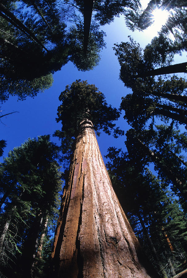 Sequoia Photograph - Looking Up At A Giant Sequoia Tree by Bill Hatcher