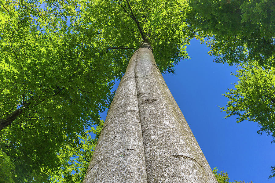 Looking Up Into The Crown Of A Tall Tree Photograph