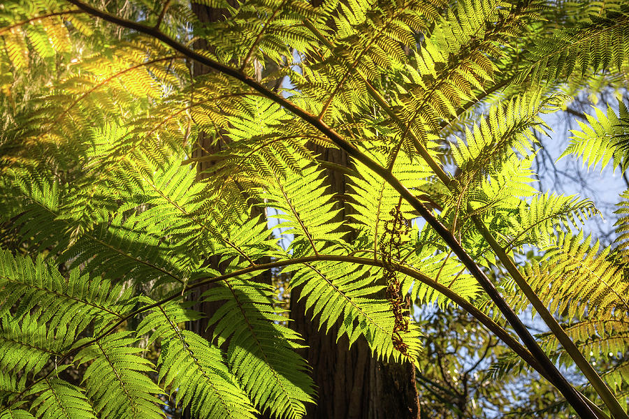 Australia Photograph - Looking Up To A Beautiful Sunglowing Fern In A Tropical Forest by Daniela Constantinescu