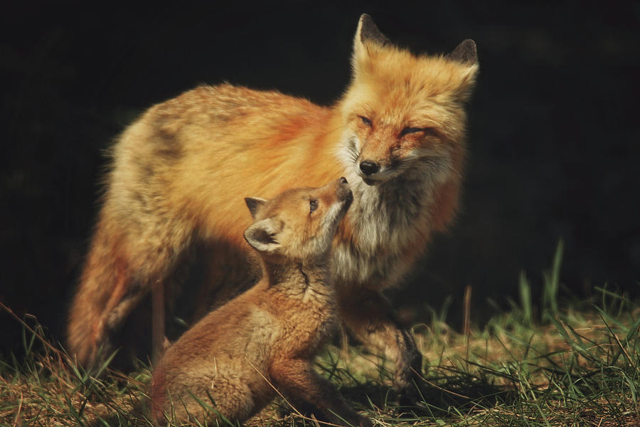 Red Fox Photograph - Looking Up To Mommy by Carrie Ann Grippo-Pike