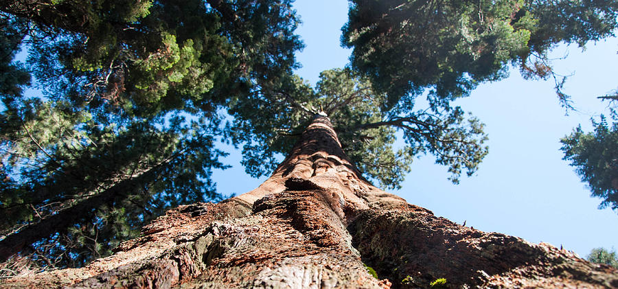 Redwoods Photograph   Looking Up Up Close By Kimberly Valentine