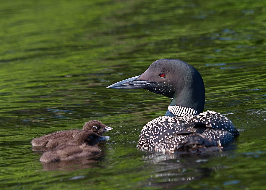 Loon Photograph - Loon Afternoon by Peter Gray