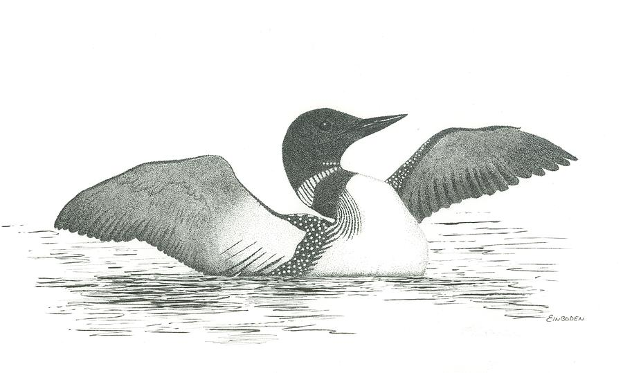 loon drawing by ed einboden