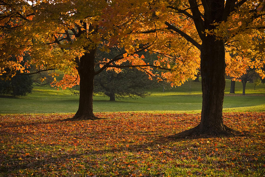 Seasons Photograph - Loose Park Maple Trees by Chad Davis