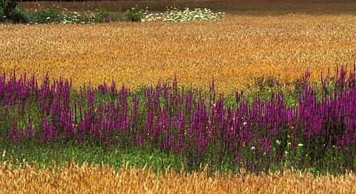 Loosestrife Photograph - Loosestrife And Grain - Ontario Canada by Catherine Kelly